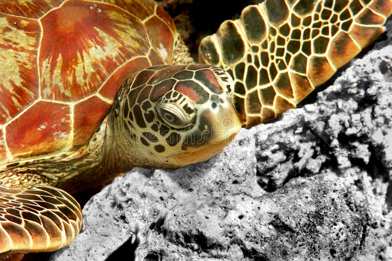 tortue verte photos libres de droits