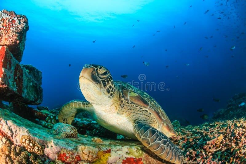 Tortue verte dans l'eau bleue claire images libres de droits