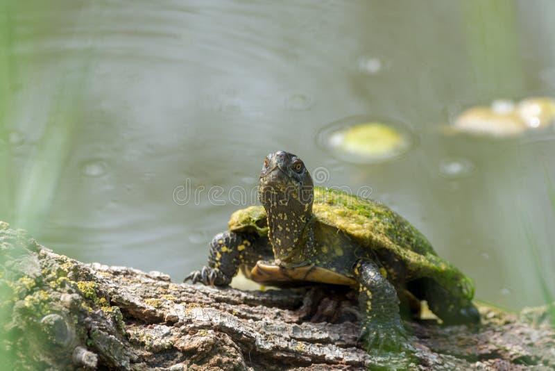 Tortue verte de l'eau enjoing haut étroit de bain de soleil photographie stock