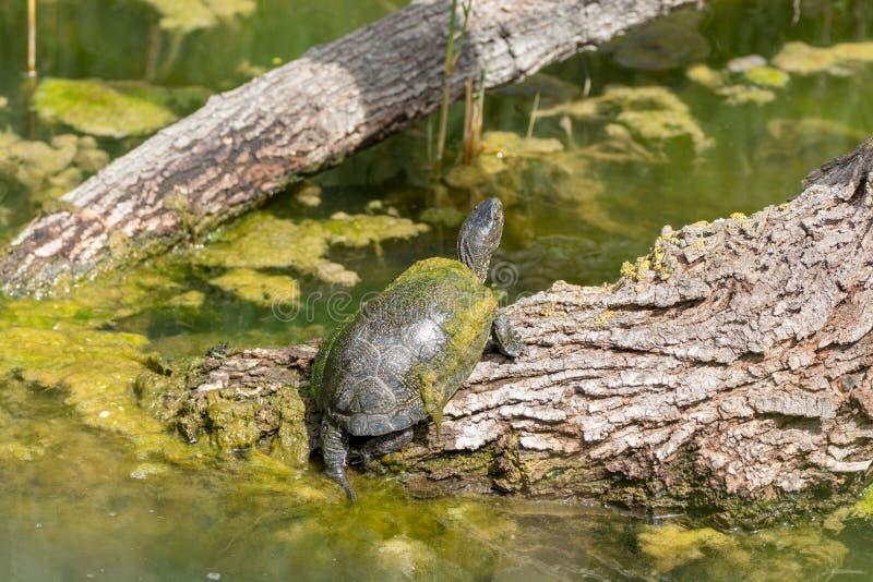 Tortue verte de l'eau enjoing haut étroit de bain de soleil image stock
