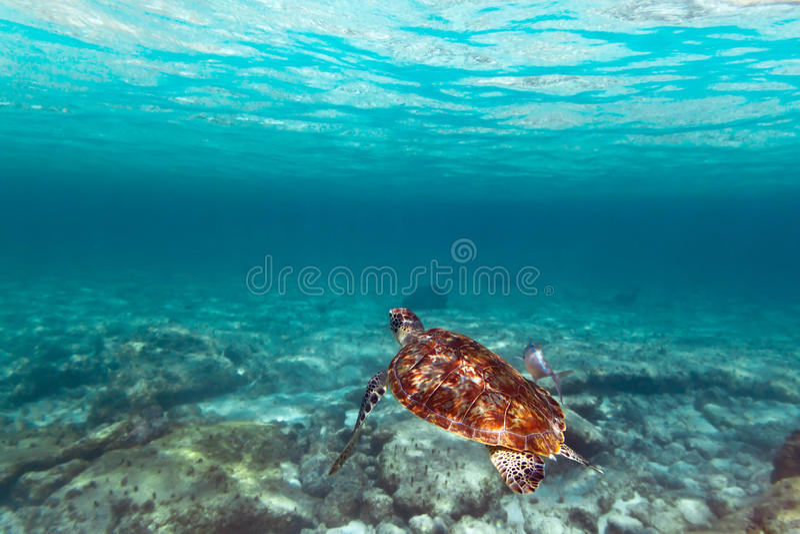 Tortue verte en mer des Caraïbes photographie stock