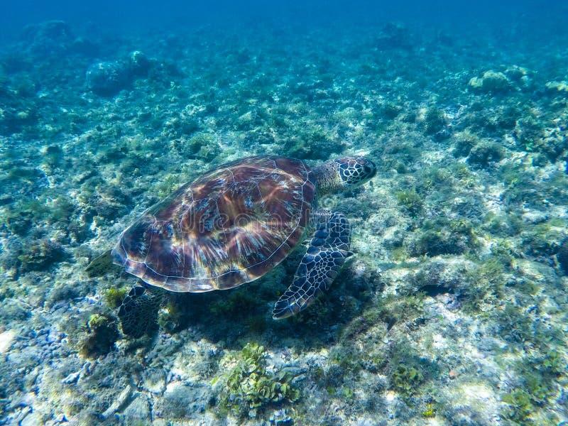 Tortue verte sous des réflexions de lumière du soleil Tortue verte en eau de mer photos stock