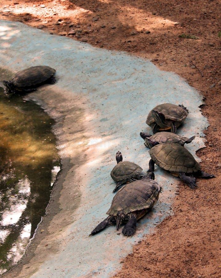 tortues photographie stock libre de droits