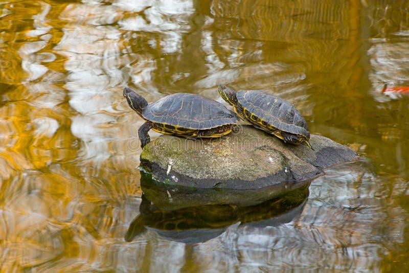 Download Tortues photo stock. Image du brun, tortue, étang, paire - 82978