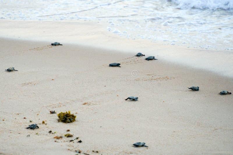 Tortues de bébé faisant leurs premières étapes à l'océan photographie stock