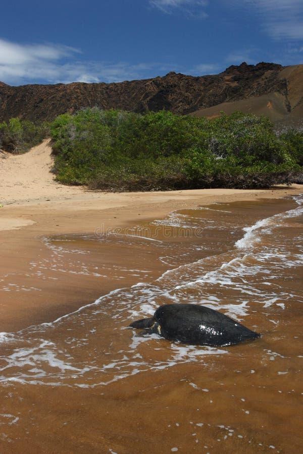 Tortues de mer verte Pacifiques image libre de droits