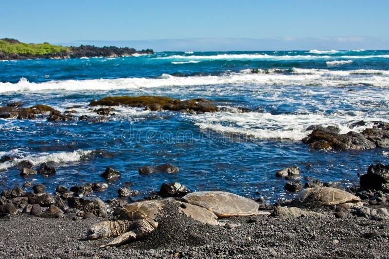 Tortues de mer verte sur la plage noire de sable