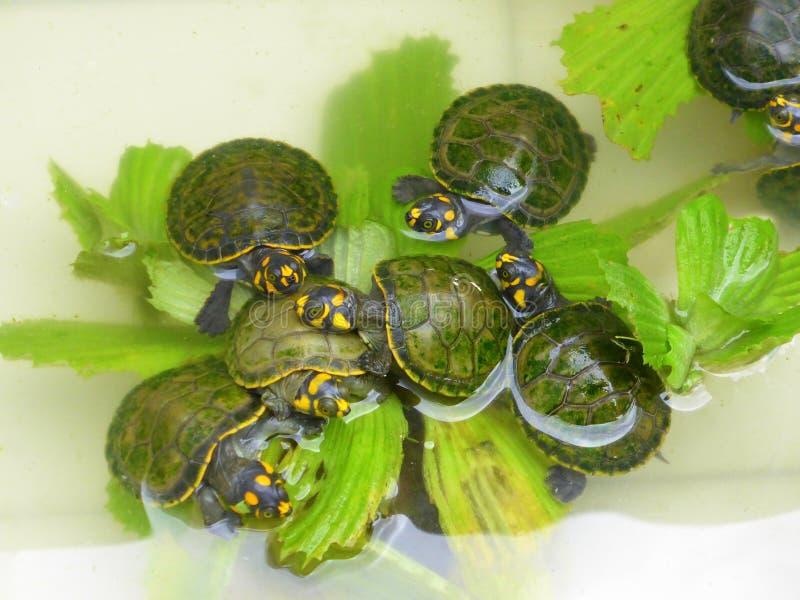 Tortues de rivière de bébé mangeant de la laitue d'eau photographie stock libre de droits