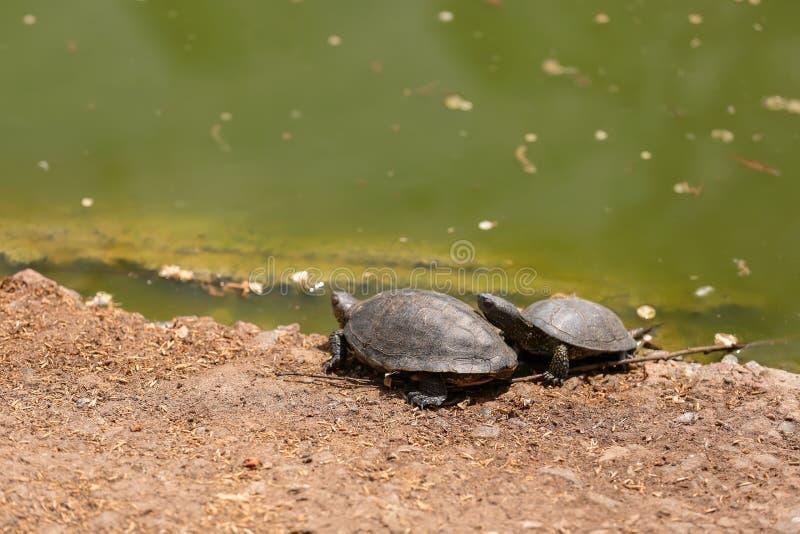 Tortues mignonnes près d'étang dans le jardin zoologique photos libres de droits