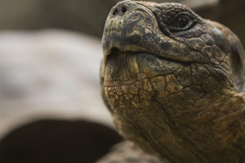 tortues proches de bouche de Galapagos vers le haut images stock