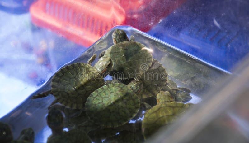 tortues Rouge-à oreilles dans un récipient de l'eau images stock