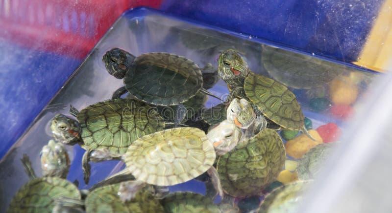 tortues Rouge-à oreilles dans un récipient de l'eau photos stock