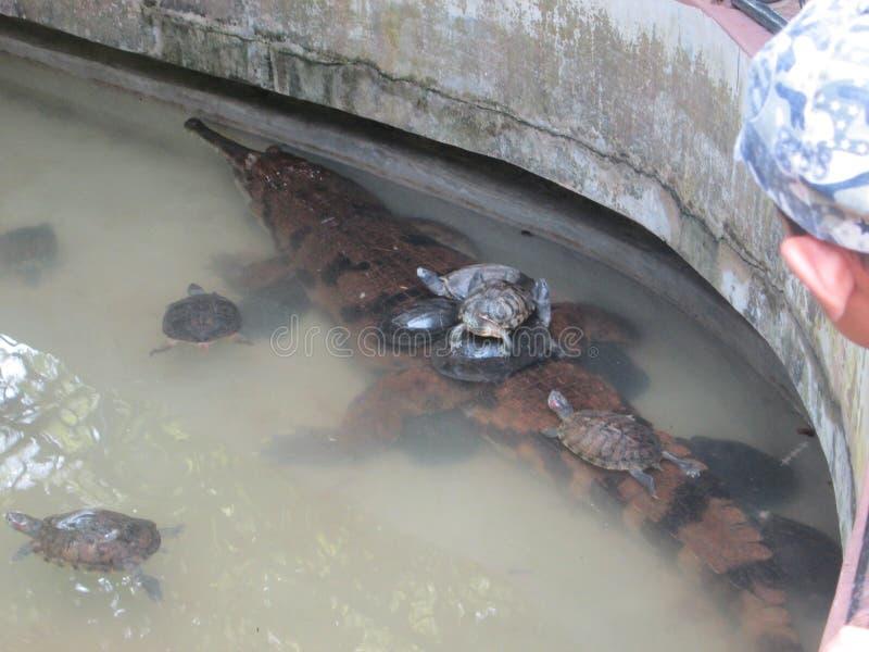 Tortues sur un crocodile photos stock