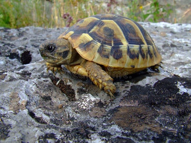 Download Tortuga imagen de archivo. Imagen de tortuga, shelles - 1019267