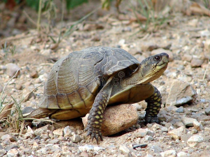 Download Tortuga imagen de archivo. Imagen de tortugas, grava, pegado - 192753