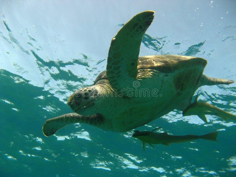Tortuga acuática foto de archivo libre de regalías