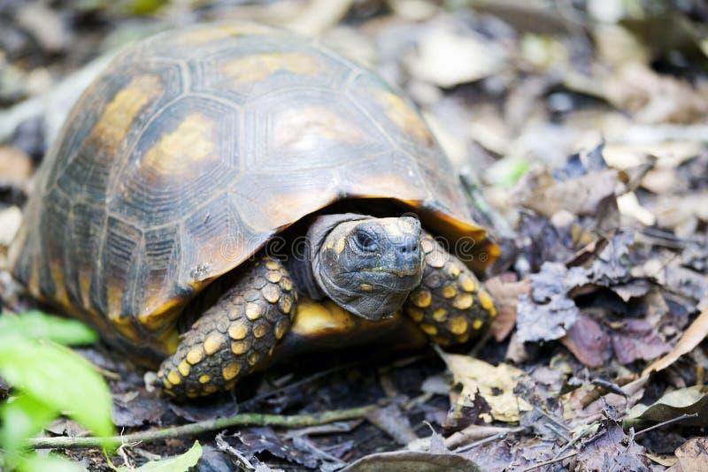 tortuga Amarillo-footed imágenes de archivo libres de regalías