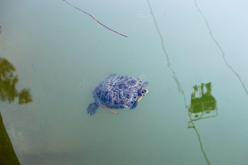 tortuga Amarillo-hinchada del resbalador que flota en una charca fangosa fotos de archivo libres de regalías