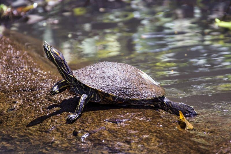 tortuga Amarillo-hinchada del resbalador que toma el sol en Tortuguero - Costa Rica fotos de archivo