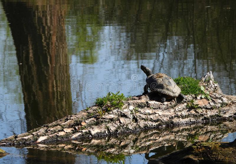 Tortuga americana en aguas checas imagen de archivo libre de regalías