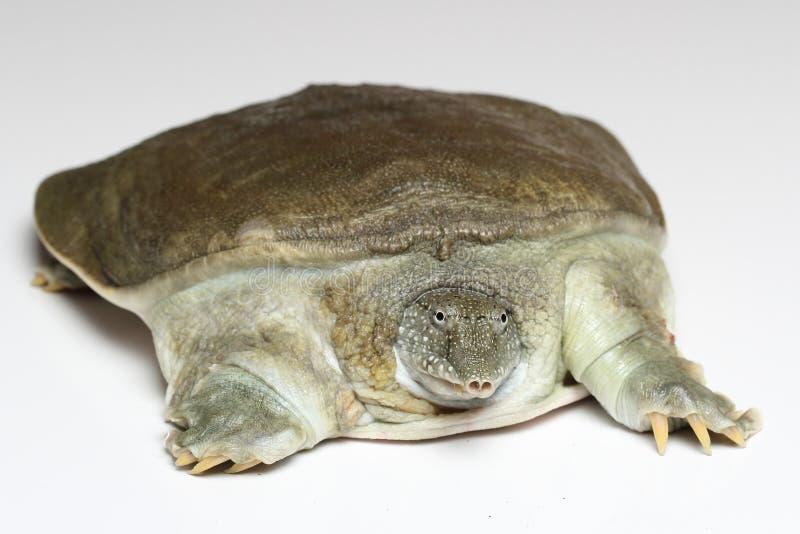 Tortuga china del softshell (sinensis de Pelodiscus) en blanco imagen de archivo