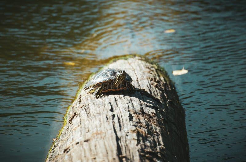 Tortuga corta que se cae al sol imagen de archivo libre de regalías