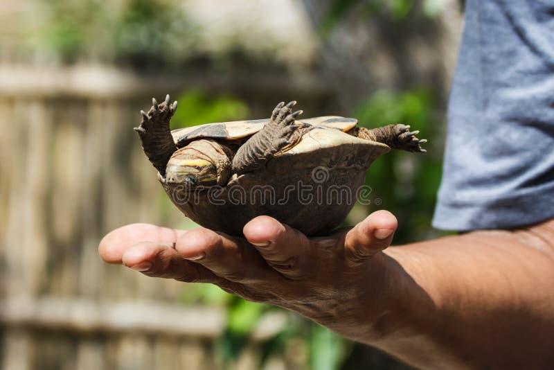 Tortuga curiosa del agua dulce, parque de la fauna de Calauit, Corong, Filipinas imagenes de archivo