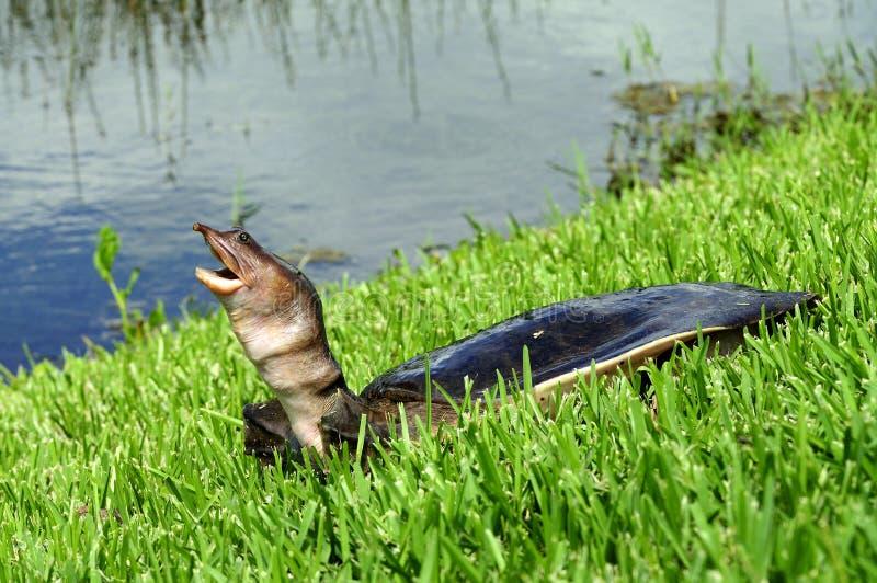 Tortuga de la Florida Softshell imagen de archivo
