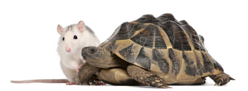 Tortuga de la rata y de Hermann, hermanni del Testudo imagen de archivo