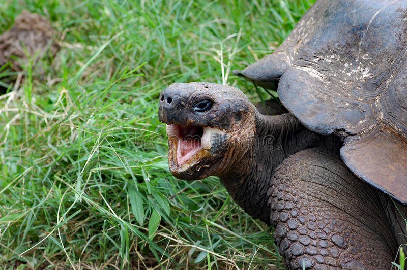 Tortuga de las Islas Galápagos del gigante con la boca abierta, primer foto de archivo libre de regalías