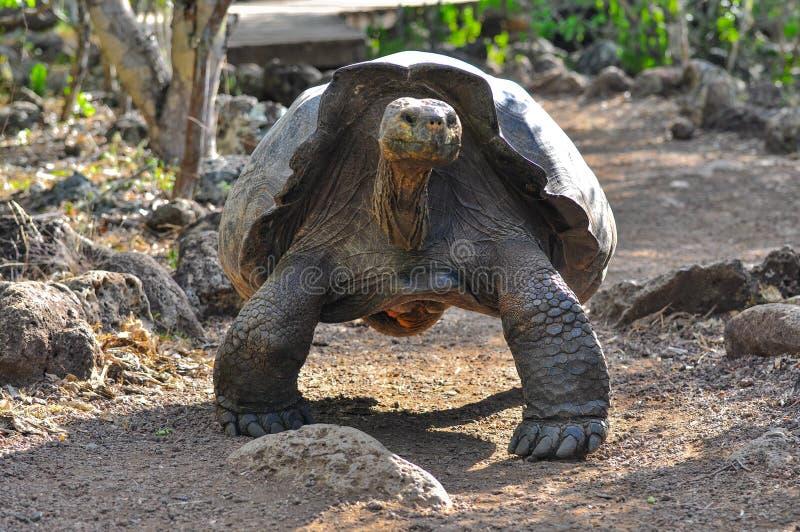 Tortuga de las Islas Galápagos en una reserva de naturaleza fotografía de archivo