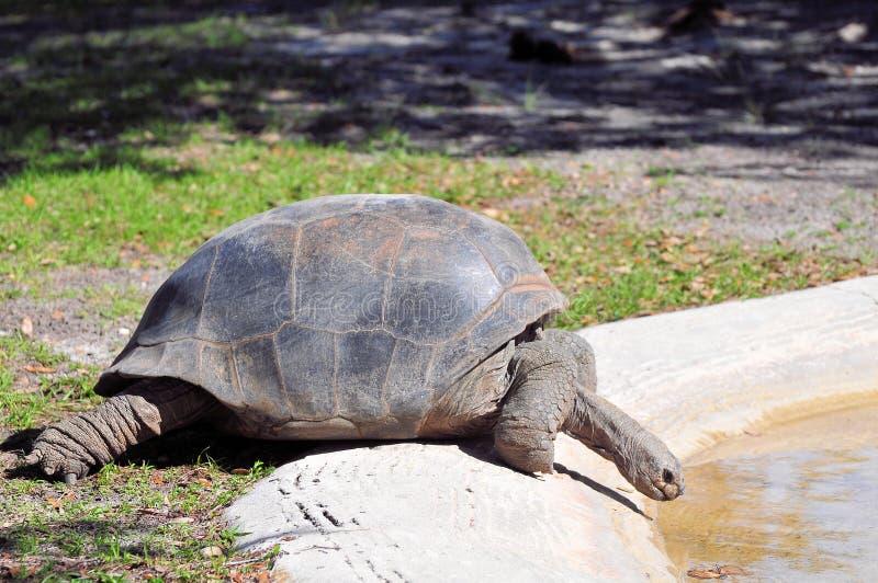 Tortuga de las Islas Galápagos por la piscina de agua imagen de archivo