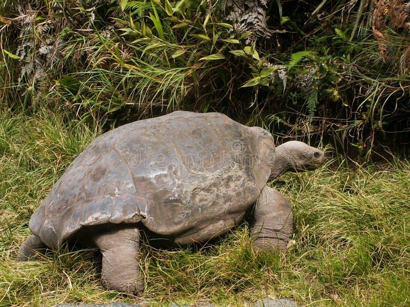 Tortuga de las Islas Galápagos que mira lejos imagen de archivo