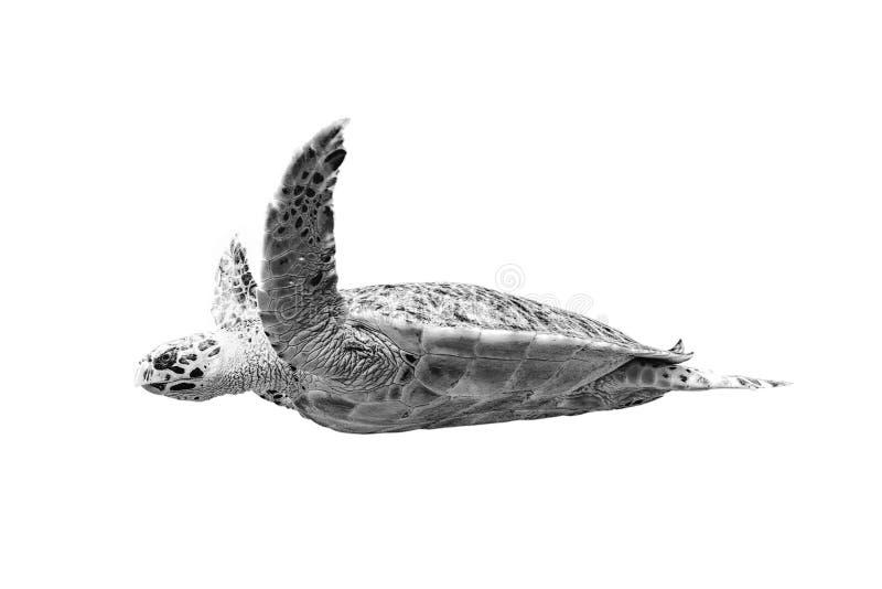 Tortuga de mar aislada en color blanco y negro del fondo blanco imágenes de archivo libres de regalías