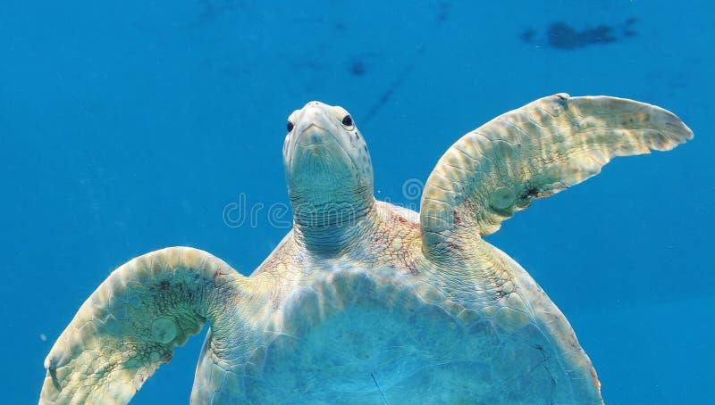 Tortuga de mar cómoda 2 imágenes de archivo libres de regalías