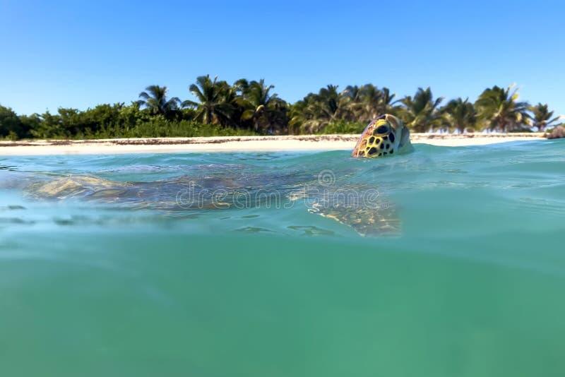 Tortuga de mar críticamente en peligro del hawksbill del imbricata del eretmochelys de la especie fotos de archivo