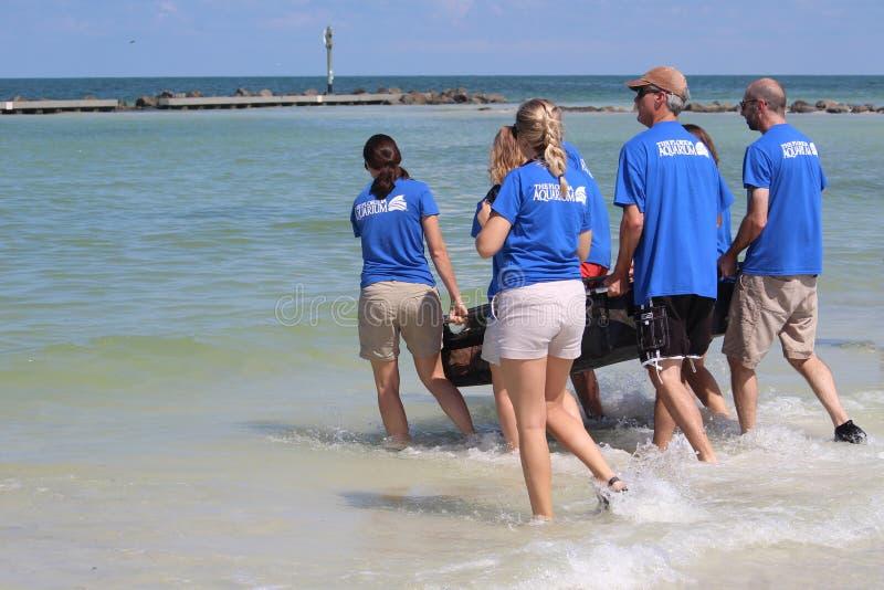 Tortuga de mar del necio de la marea roja lanzada por el acuario de la Florida en agosto de 2017 fotos de archivo