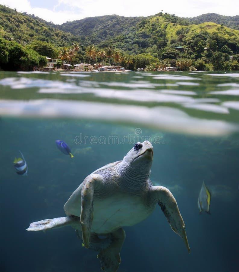 Tortuga de mar delante de la playa Trinidad y Tobago, las Antillas de Castara imágenes de archivo libres de regalías