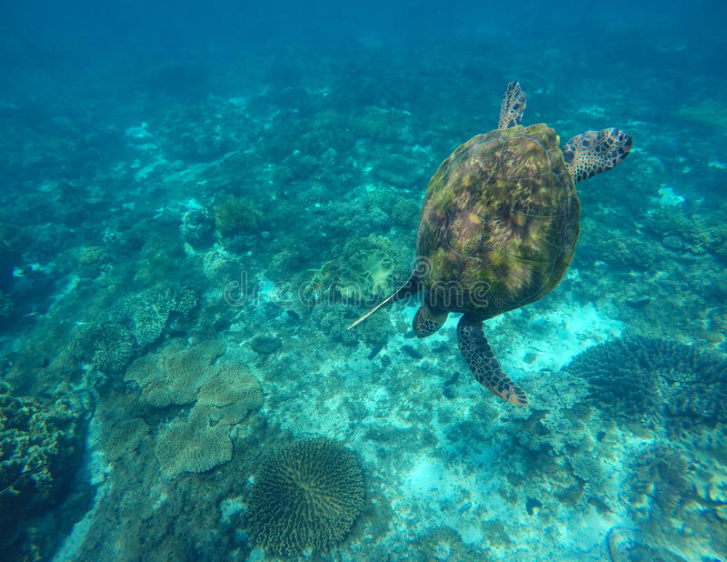 Tortuga de mar en agua azul fotos de archivo