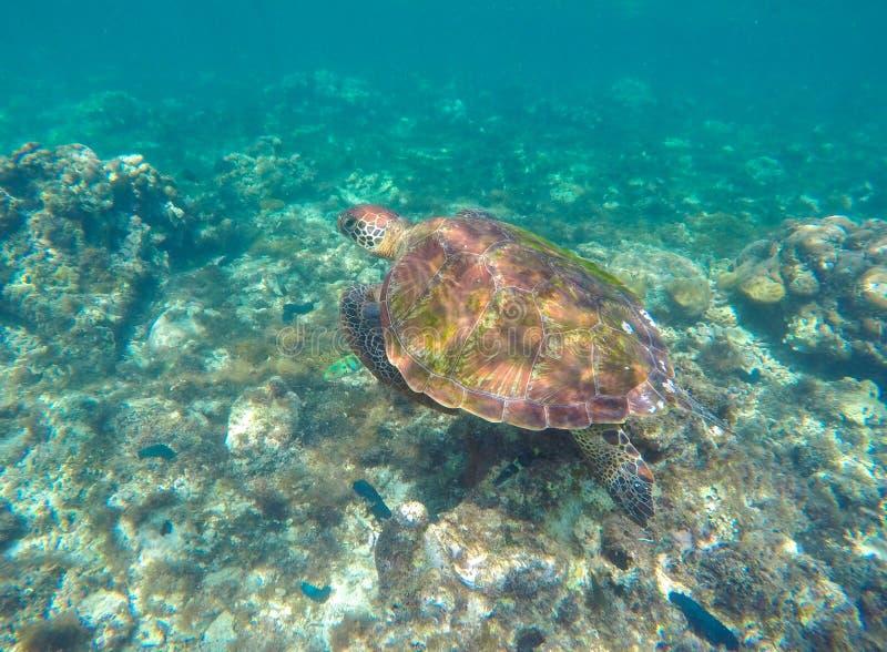 Tortuga de mar en agua azul Foto del cierre de la tortuga de mar verde imagen de archivo libre de regalías