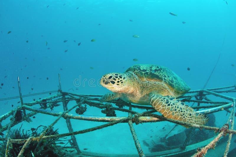 Tortuga de mar en el arrecife de coral subacuático