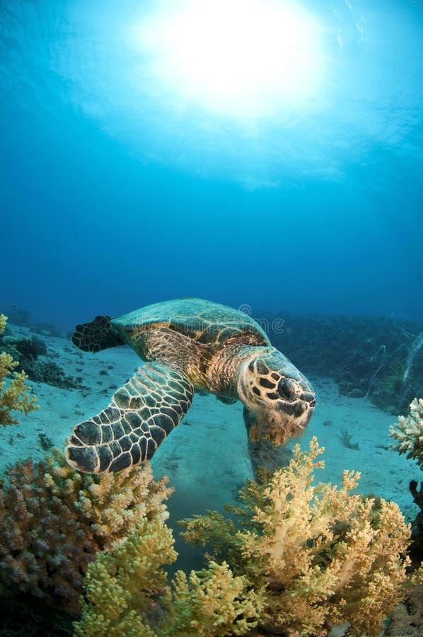Tortuga de mar en el filón coralino imagenes de archivo