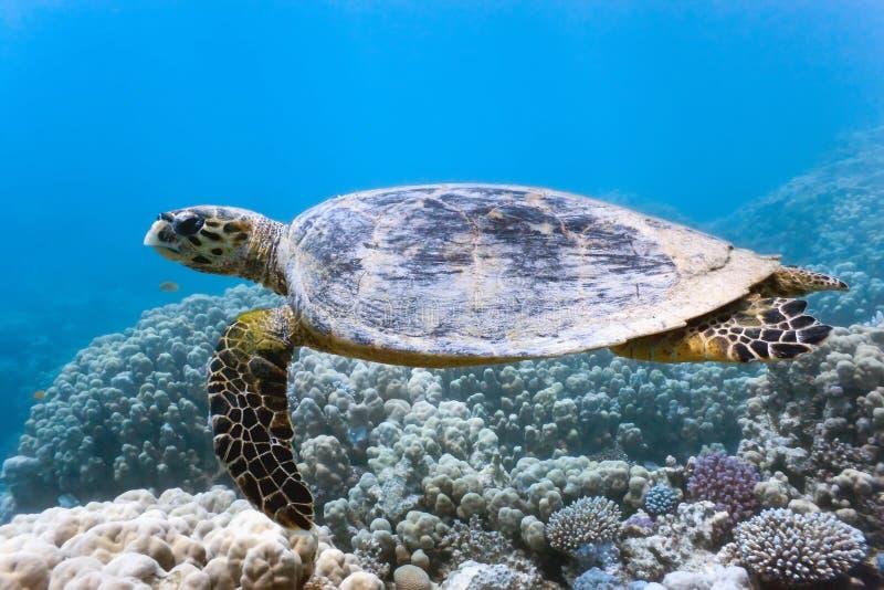 Tortuga de mar en el filón coralino foto de archivo libre de regalías