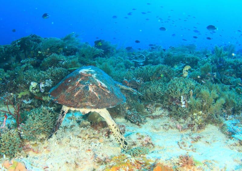 Tortuga de mar en el fil?n coralino imagen de archivo