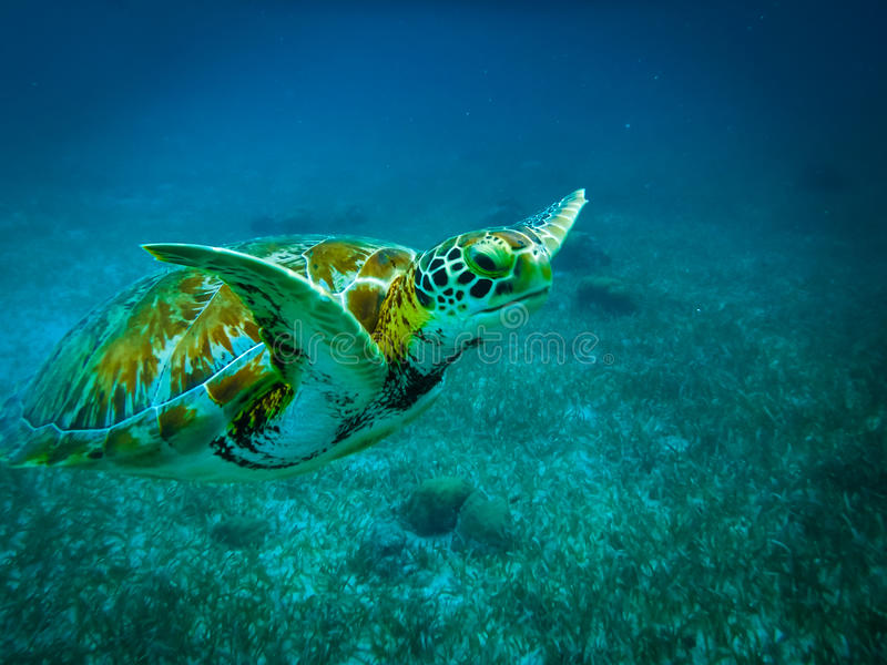 Tortuga de mar en el mar del Caribe - calafate de Caye, Belice imagen de archivo libre de regalías