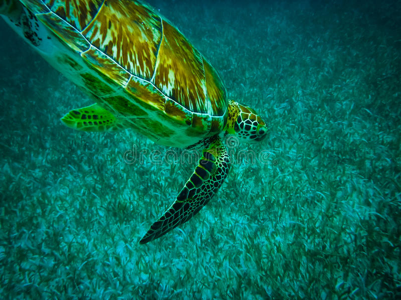 Tortuga de mar en el mar del Caribe - calafate de Caye, Belice imágenes de archivo libres de regalías
