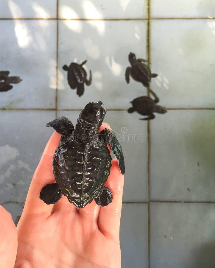Tortuga de mar en la mano antes de la primera nadada en la piscina con la familia Recién nacido del reptil tramado del huevo foto de archivo libre de regalías