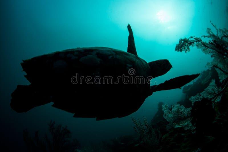 Tortuga de mar en peligro de Hawksbill en agua azul foto de archivo libre de regalías