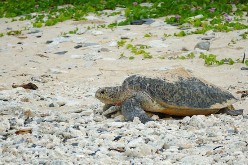 Tortuga de mar en su manera de un agujero de la arena en el mar, Zamami, Okinawa, Japón fotografía de archivo