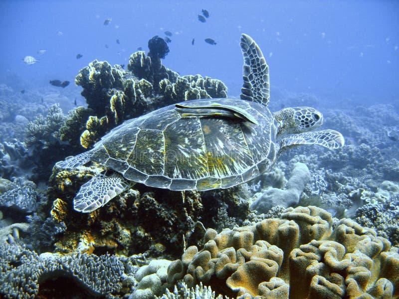 Tortuga de mar verde
